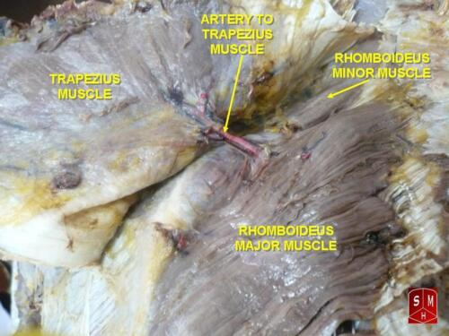 Rhomboideus major muscle